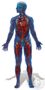 16 Full Body W Circulatory System