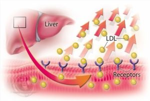 Liver Pushing Out Ldl Cholesterol